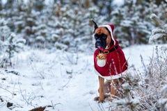 Stående av hunden i jultomtendräkt mot bakgrund av julgranar Royaltyfria Bilder