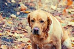 Stående av hunden labrador Arkivbild