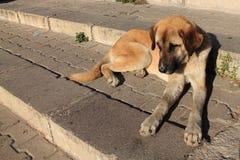 Stående av hunden som är kangal i soluppgång Royaltyfri Bild