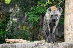 Stående av hyenan Arkivfoto