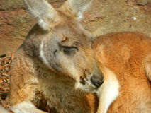 Stående av kängurun Royaltyfri Fotografi