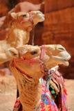 Stående av kamel i Petra, Jordanien Arkivfoto