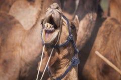 Stående av kamelhuvudet i Pushkar royaltyfria bilder