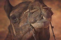 Stående av kamelhuvudet i Pushkar royaltyfri fotografi