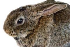 Stående av kanin Royaltyfri Bild