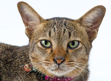 Stående av katten arkivbild