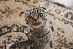 Stående av katten med en rund framsida Arkivfoton