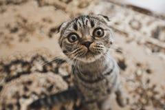 Stående av katten med en rund framsida Fotografering för Bildbyråer