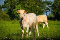 stående av kon som ser kameran arkivbilder