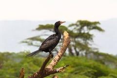 Stående av kormoran Baringo sjö Royaltyfria Foton
