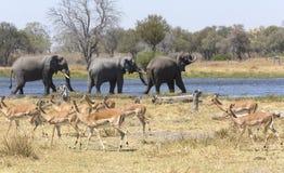 Stående av lösa fria elefanter i floden Arkivfoton