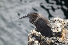 Stående av Lava Heron (Galapagos, Ecuador) Arkivfoton