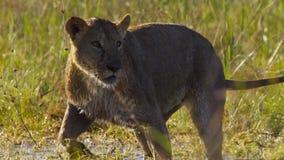 Stående av lejonet i den Okavango deltaOkavango grässlätten, Botswana, Söder-västra Afrika arkivfoton