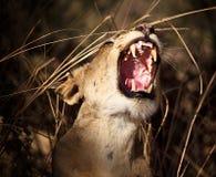 Stående av lionessen Arkivfoto
