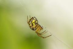 Stående av lite spindeln Arkivfoton