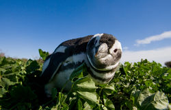 Stående av Magellanic pingvin Närbild arenaceous Halvö Valdes Royaltyfri Bild