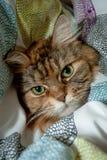Stående av Maine Coon Cat i duntäcken royaltyfria bilder