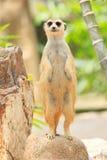 Stående av meercat Arkivfoto