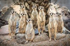 Stående av meerkat Arkivfoton