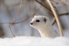 Stående av minst vessla i snö nära busken Arkivbild
