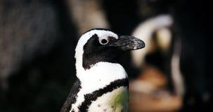 Stående av närbildvew av den antartic pingvinet Royaltyfri Bild