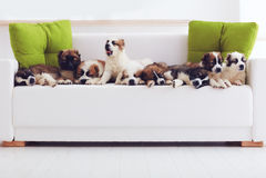 Stående av nio mest gulliga caucasian herdevalpar som hemma ligger i rad på soffan royaltyfria bilder