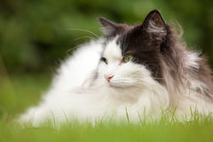 Stående av norrman Forest Cat royaltyfria foton