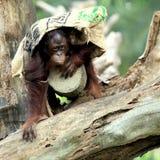 Stående av orangutanen Royaltyfria Foton