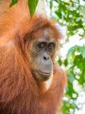 Stående av orangutanget i Bukit Lawang i ett träd arkivfoton