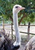 Stående av ostrichen Arkivfoto