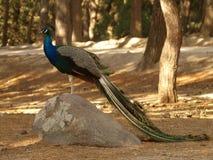 Stående av påfågeln arkivfoton