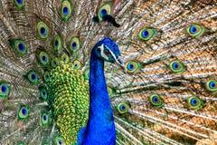Stående av påfågeln med fjädrar ut Fotografering för Bildbyråer