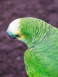 Stående av papegojan Royaltyfria Foton