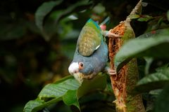 Stående av papegojan, grön tjänstledighet Par av fåglar, gräsplan och grå färger mekaniskt säga efter, Vit-krönat Pionus, denkork royaltyfri fotografi