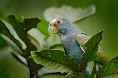 Stående av papegojan, grön tjänstledighet Par av fåglar, gräsplan och grå färger mekaniskt säga efter, Vit-krönat Pionus, denkork fotografering för bildbyråer