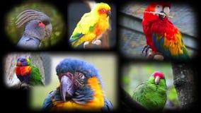 Stående av papegojor, collage stock video
