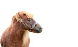 Stående av ponnyn Royaltyfri Bild