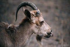 Stående av RAM med ett horn Arkivbilder