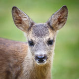 Stående av Roe Deer Fawn, Capreoluscapreolus Arkivbilder