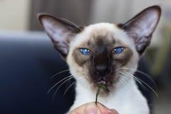 Stående av rolig skyddsremsa-punkt för blåa ögon den orientaliska katten Arkivfoton
