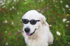 Stående av roligt golden retrieverhundsammanträde i blommafältet och den bärande solglasögon arkivbilder