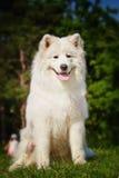 Stående av Samoyedcloseupen Slädehundkapplöpning Arkivbild