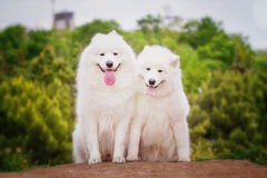 Stående av Samoyedcloseupen Slädehundkapplöpning Royaltyfri Foto