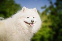 Stående av Samoyedcloseupen Slädehundkapplöpning Royaltyfri Fotografi