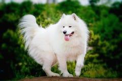 Stående av Samoyedcloseupen Slädehundkapplöpning Royaltyfria Bilder