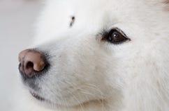 Stående av samoyedhunden Arkivbilder