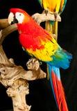 Stående av scharlakansröda papegojor för en araräddningsaktion Arkivbilder