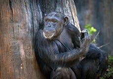 Stående av schimpanser Arkivbilder