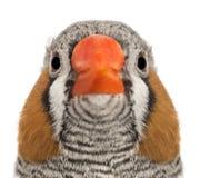 Stående av sebrafinchen, Taeniopygia guttata Arkivfoto