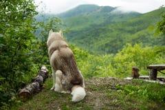 Stående av siberian skrovligt sammanträde för hundavel i skogen tillbaka till kameran på bergbakgrund royaltyfria bilder
